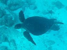 Sea turtle - Galapagos, Ecuador