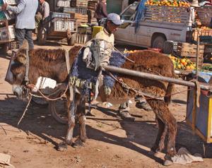 Donkey hauling produce, Agadir, Morocco